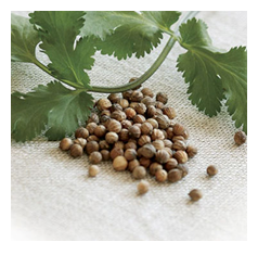 Coriander or Dhania