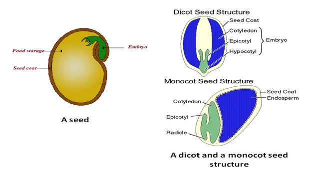 Dicot & Monocot seed structure