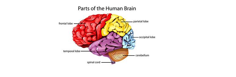 parts-human-brain