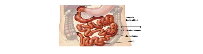 small-intestine