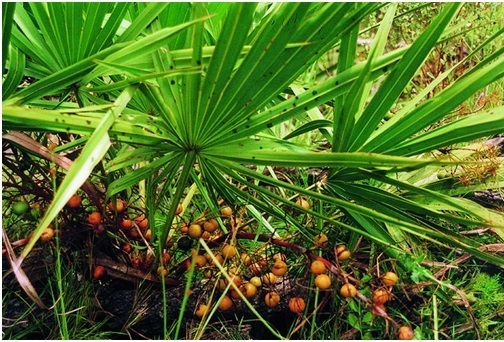 Saw Palmetto fruits
