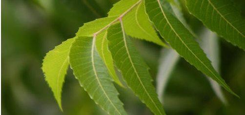 Azardirachta indica