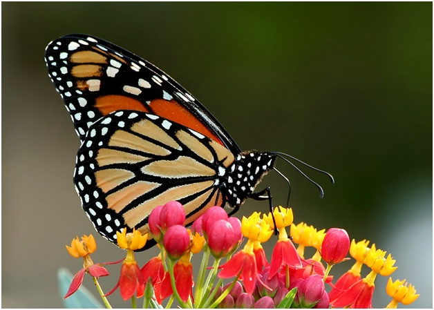 Monsanto Donates Millions to Save the Butterflies