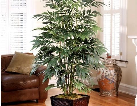 Bamboo palm (Chamaedorea sefritzii)