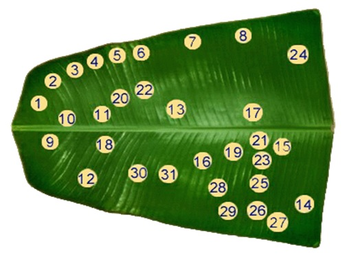 USE OF BANANA LEAF TO SERVE FOOD