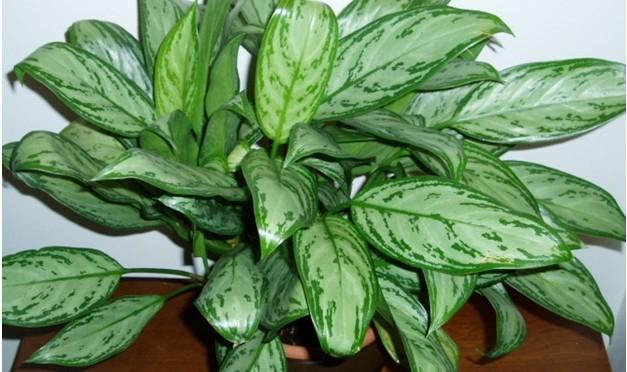 Chinese evergreen (Aglaonema Crispum 'Deborah')