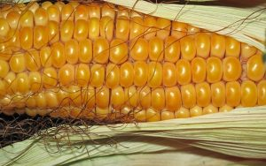 Five Hidden Ingredients in Your GMO Corn that Should NOT Be There