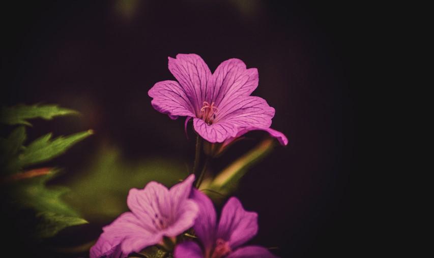 Geranium essential oil (balancing)