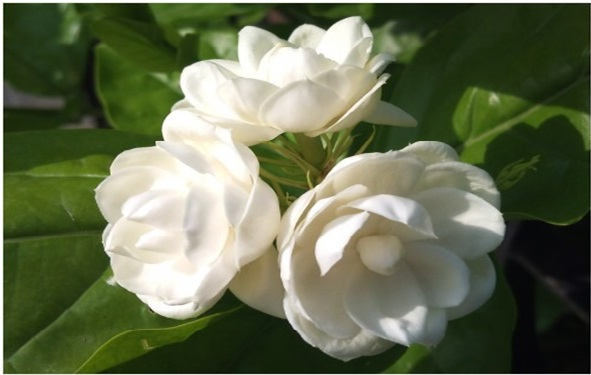 Jasmine essential oil (sedative)