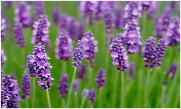 Lavender essential oil (anti-anxiety)