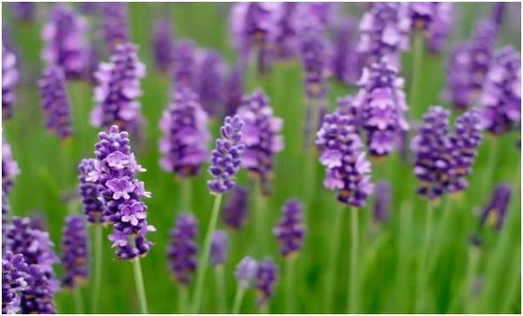 Lavender essential oil (anti-anxiety)
