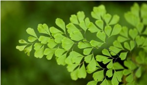 Maidenhair fern (Adiantum sp.)