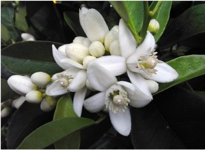 Neroli essential oil (anti-depressant)
