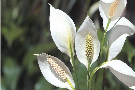 Peace lily (Spathiphyllum sp.)