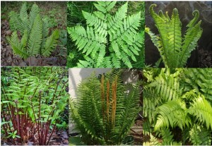 Pteridophytes: Ferns