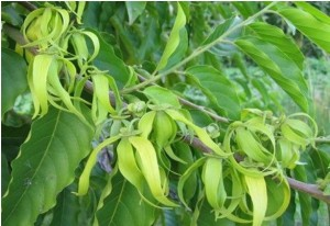 Ylang Ylang essential oil (sedative)