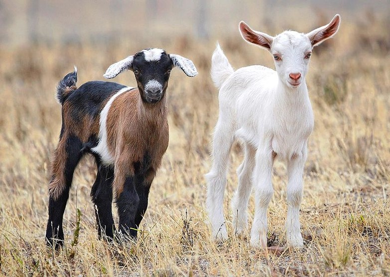 Goats fed transgenic GM soy feed have altered DNA