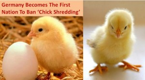 Chick Shredding