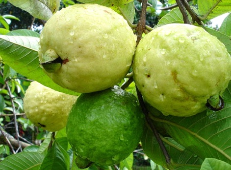 GUAVA - MIRACLE TREE