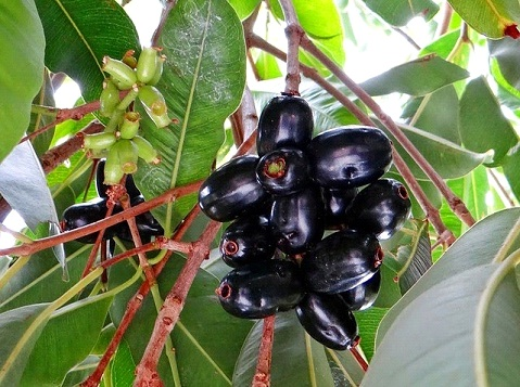 Benefits of Jamun(Jamboo)