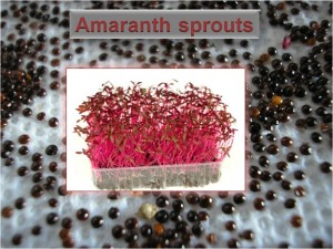 Amaranth Sprouts