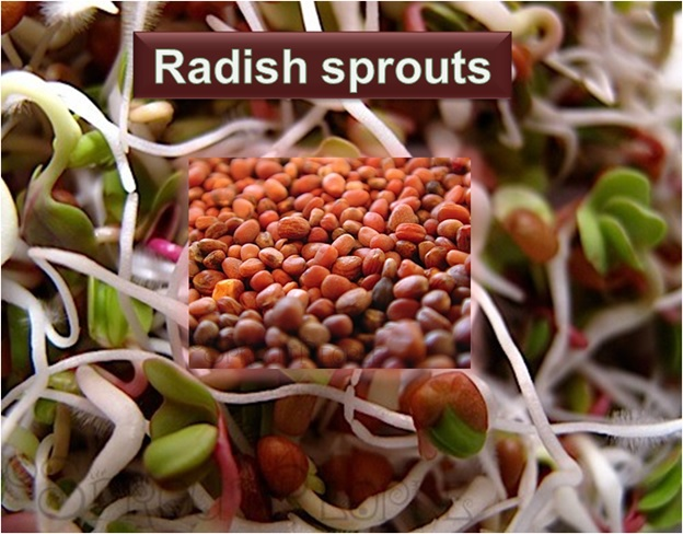 Raddish Sprouts