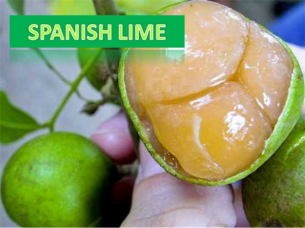 Spanish Lime - Click here to Read
