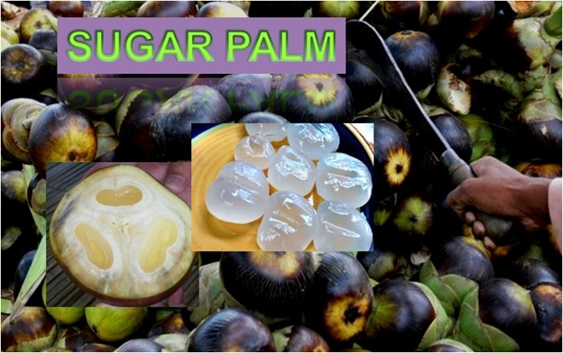 Sugar Palm - Click here to Read