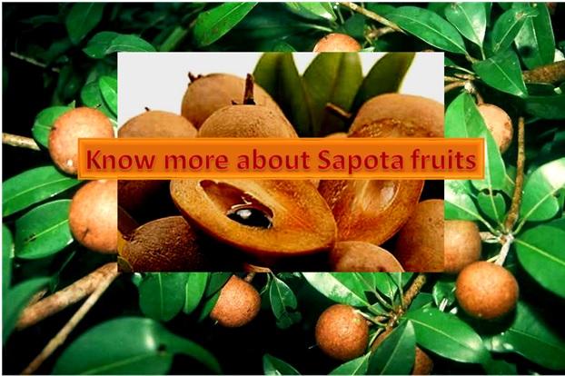Wonderful fruit : SAPOTA (SAPODILLA, CHIKKOO)