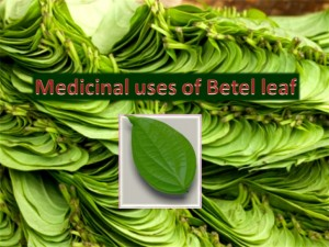 Home remedy: Medicinal uses of Betel leaf