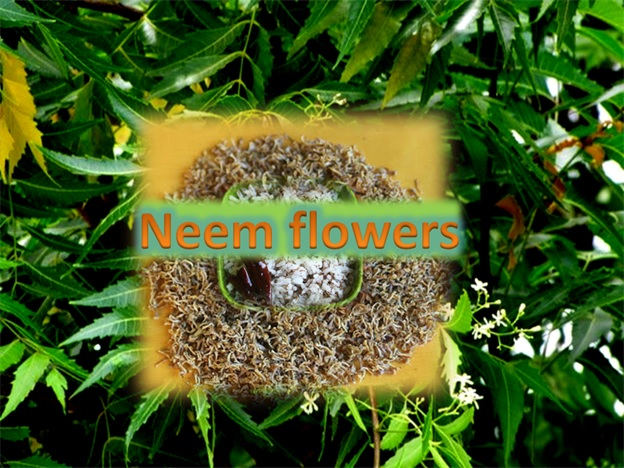 Neem Flowers