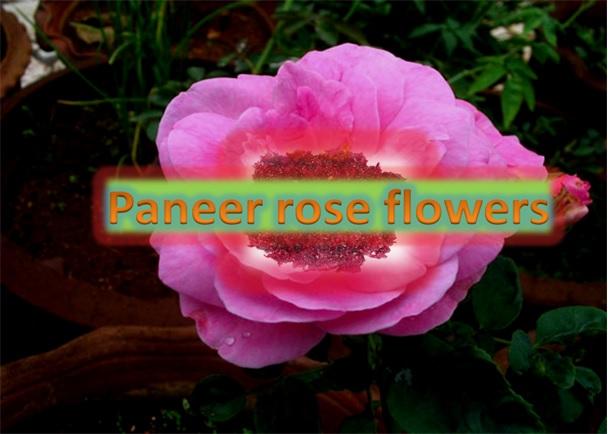 Paneer Rose Flower