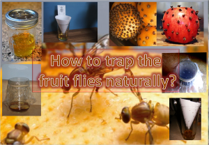 How To Trap Fruit Flies Naturally?