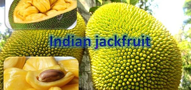 Indian Jackfruit