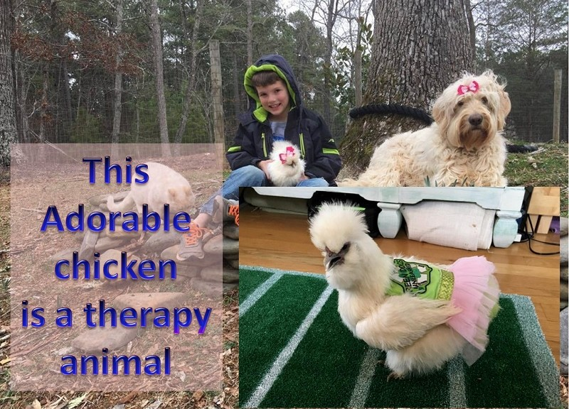This Chicken in tutu is a therapy animal