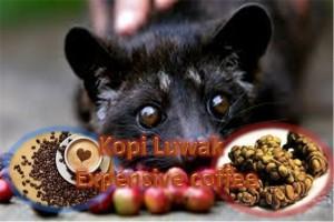 Kopi Luwak - The Most Expensive Coffee