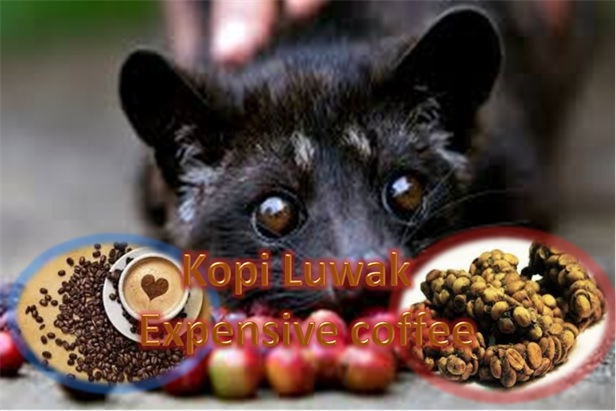 Kopi Luwak - The Most Expensive Coffee