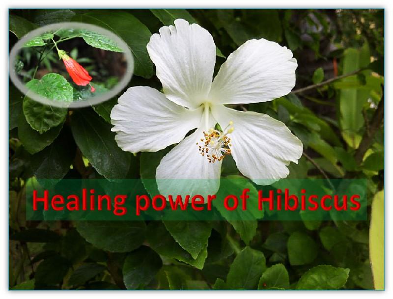 Power of Hibiscus