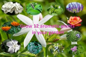 12 aromatic plants that should be part of our home garden