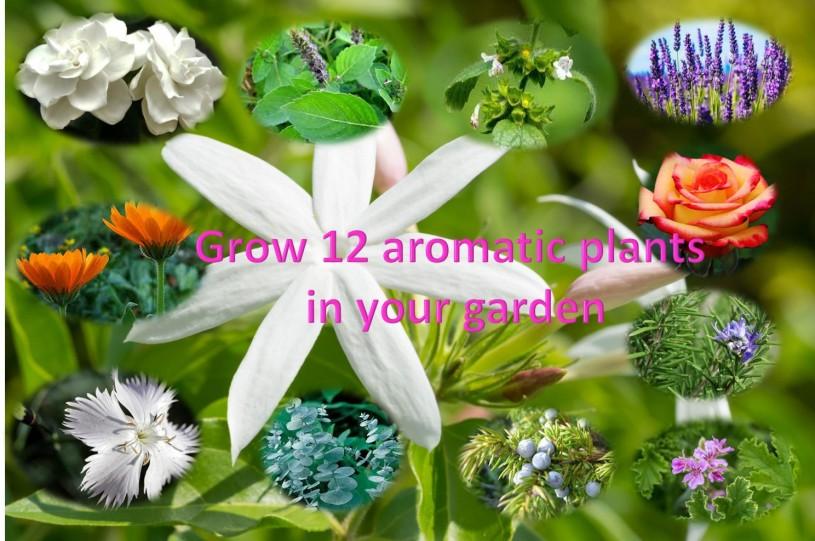 Grow 12 aromatic plants in your garden