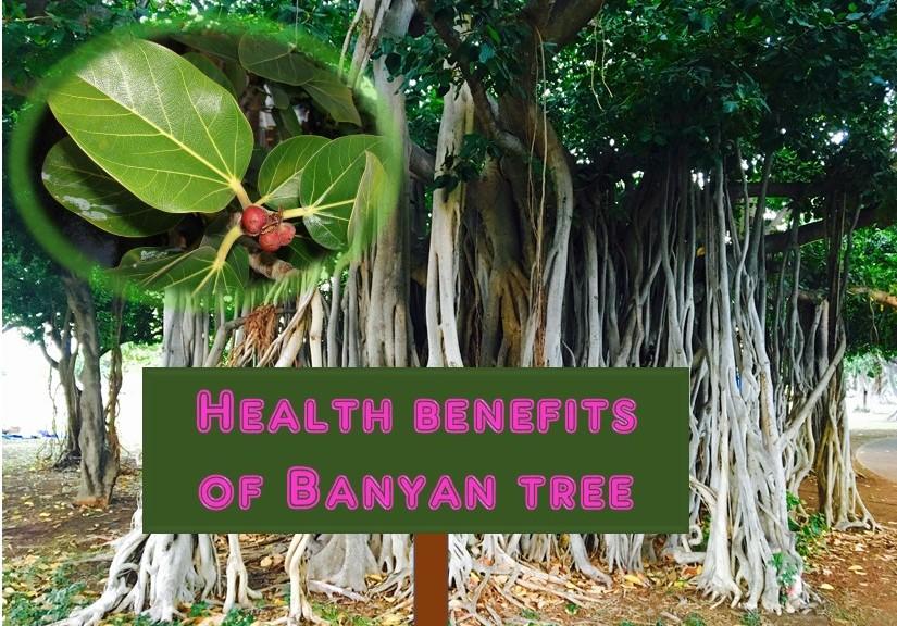 Health benefits of banyan tree