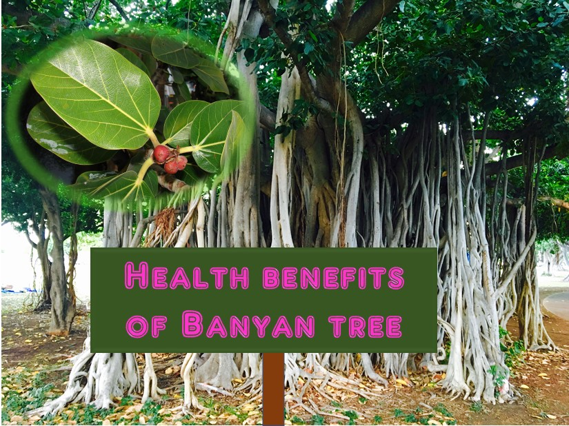 Health benefits of banyan tree