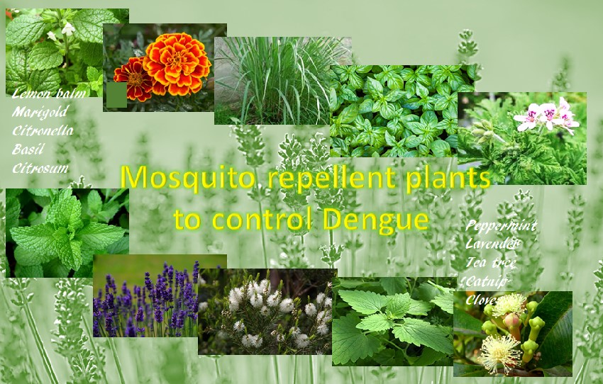 Grow these plants to control mosquitoes