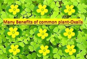 Many benefits of common plant - Oxalis