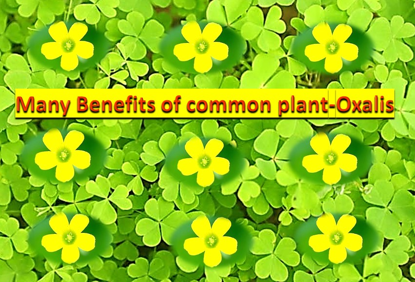 Many benefits of common plant - Oxalis