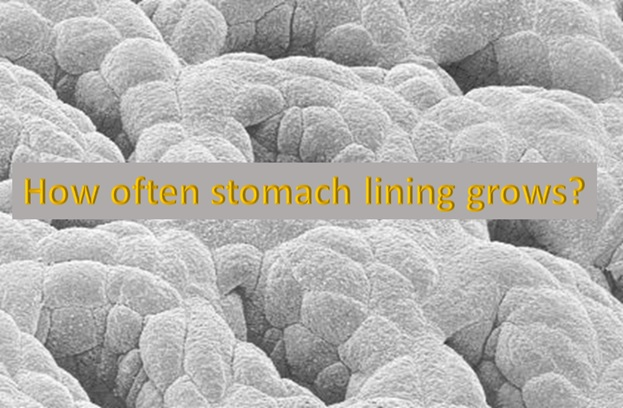 Manufacturing of new stomach lining happens every three days, but why?