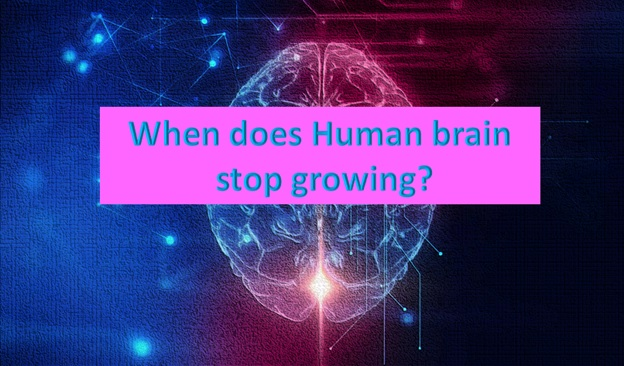 When will our brain stop growing?