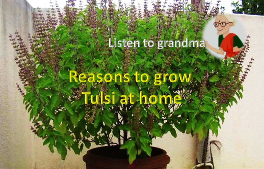 Reasons to grow Tulsi plant at home