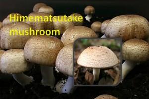 Himematsutake Mushroom