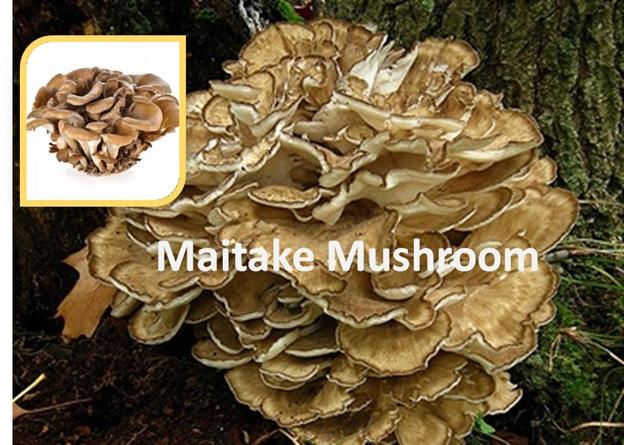 Maitake Mushroom